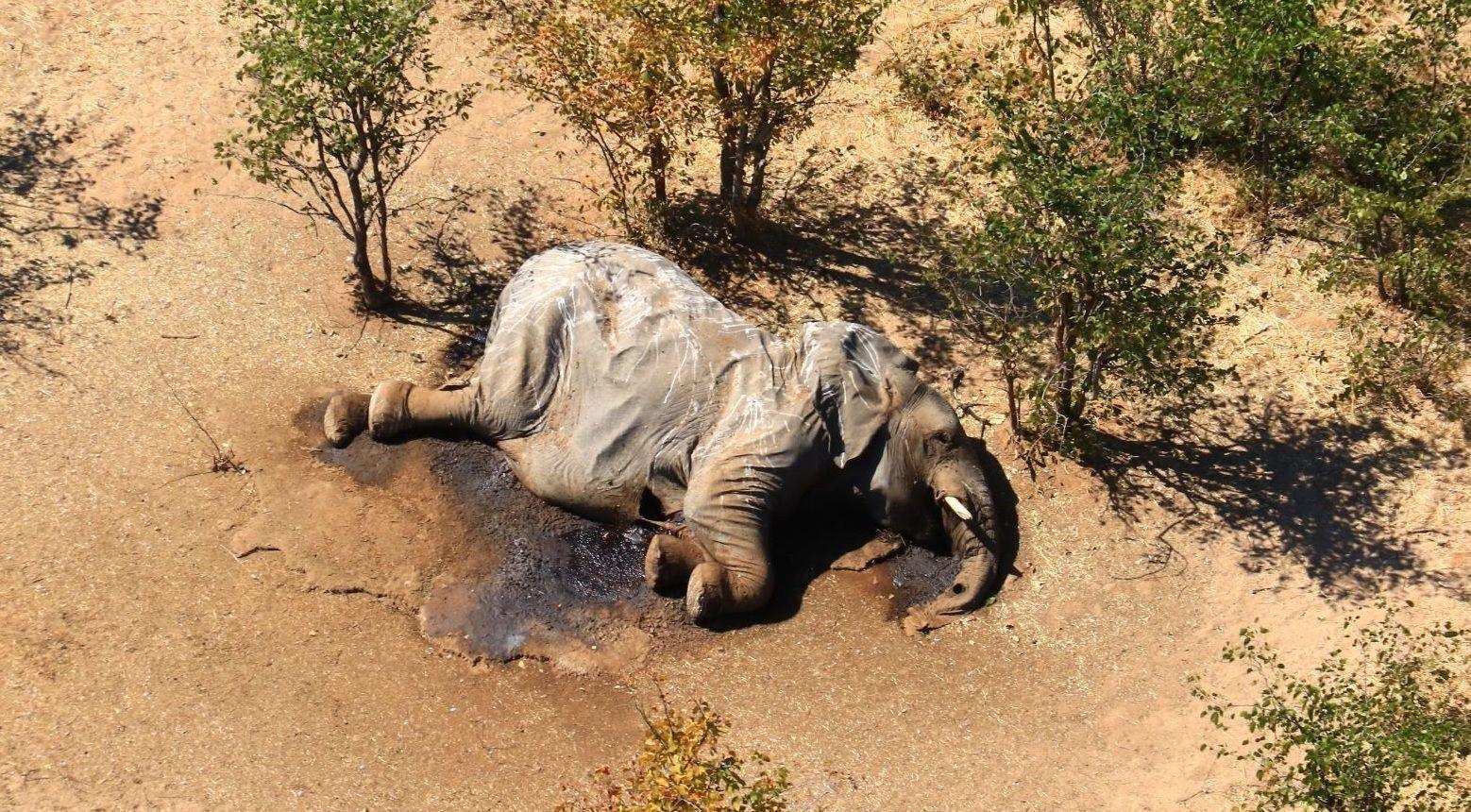 Extraña muerte de elefantes en el sur de África. Se desconoce la causa.