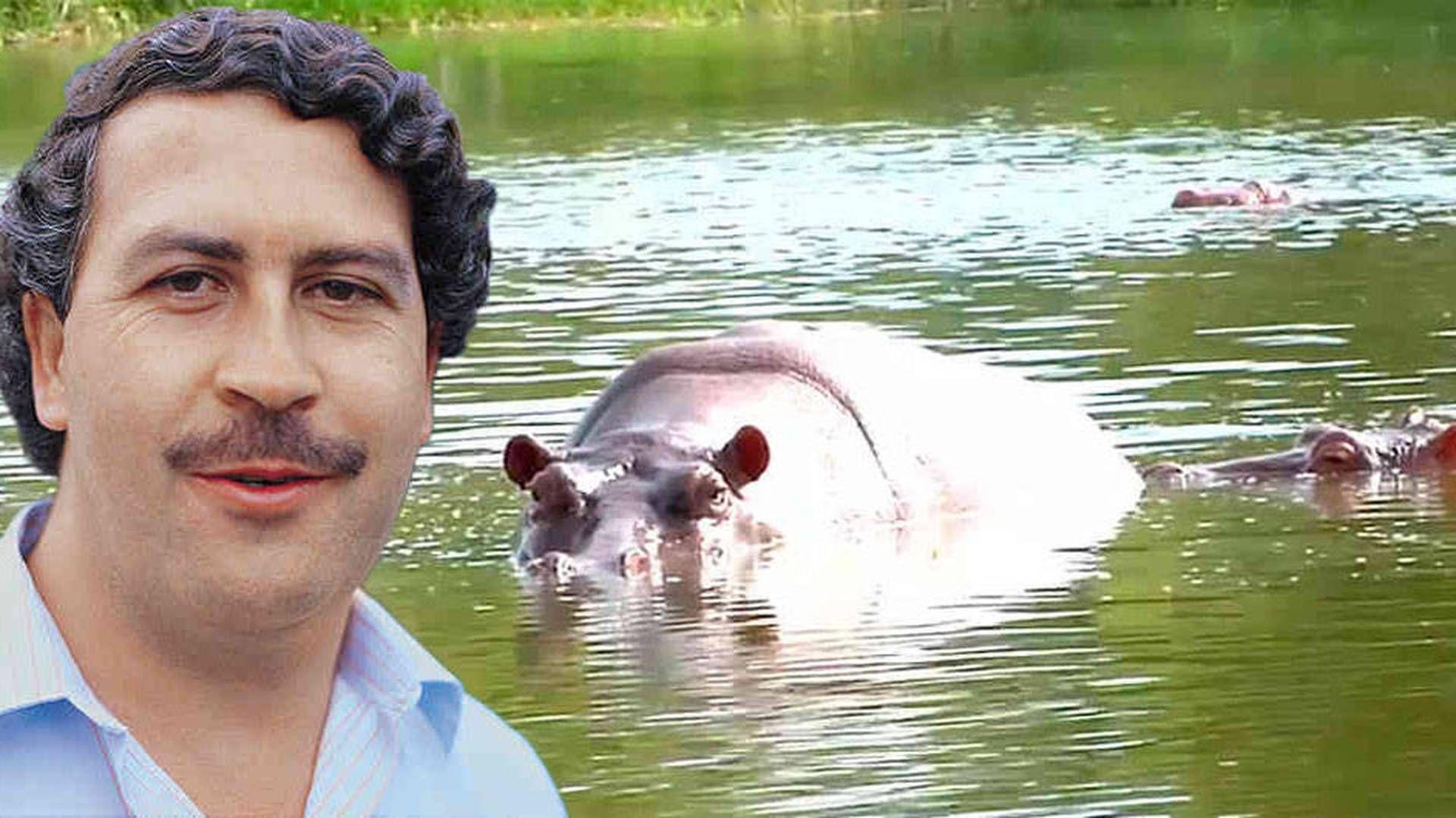 Pablo Escobar, fundador del Cartel de Medellín tenía animales exóticos en su hacienda Nápoles.